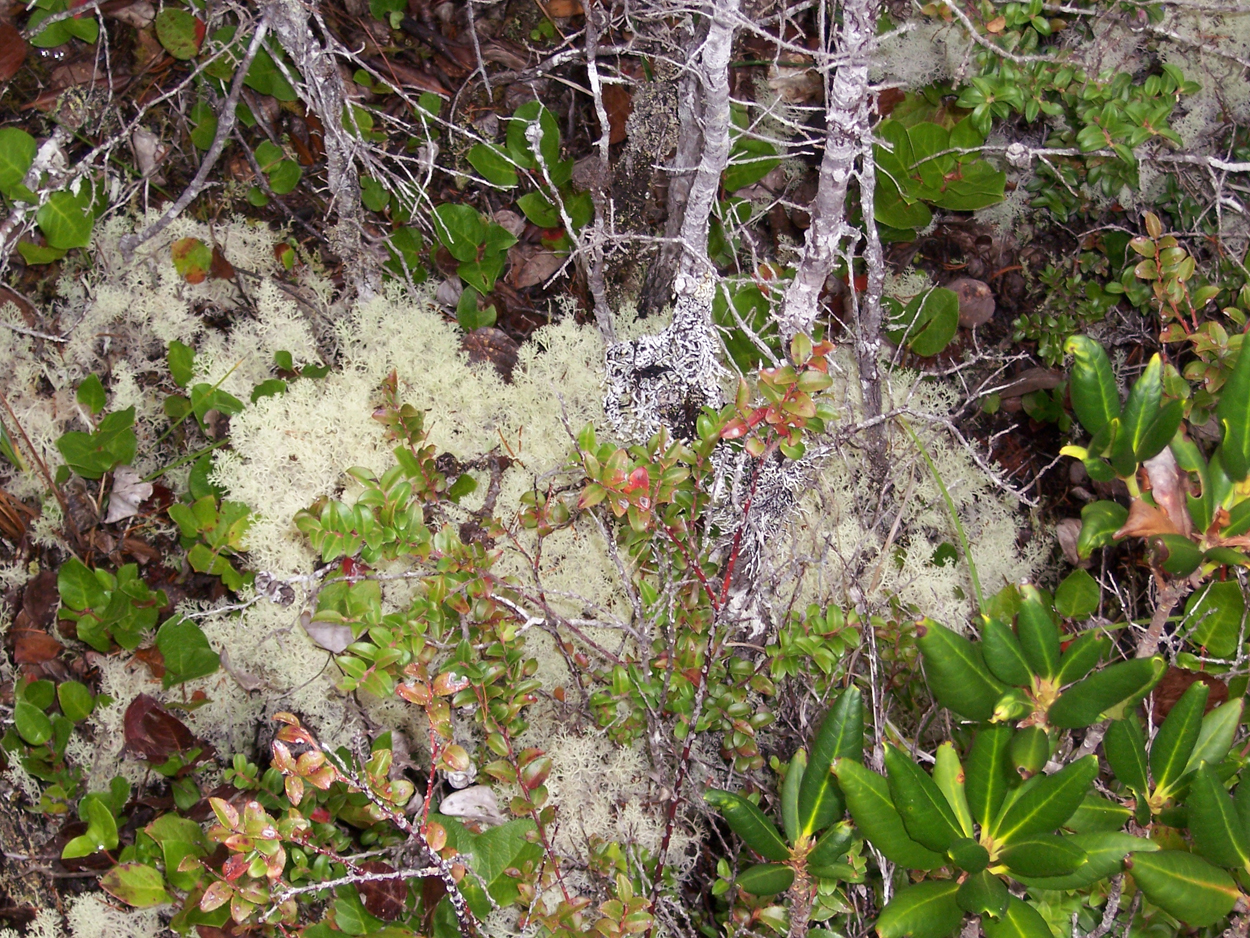 Pygmy Forest Lichens (Cladonia impexa) & Ground Cover